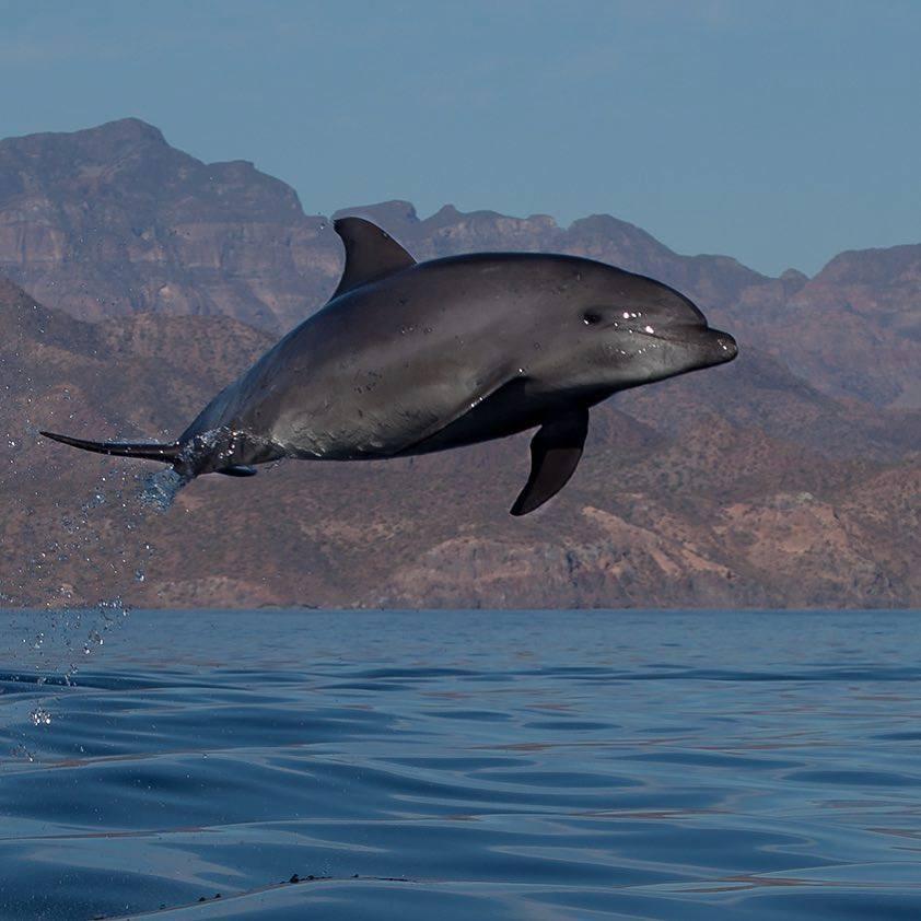 Golfinho-nariz-de-garrafa / Bottlenose Dolphin <i>Tursiops truncatus<i>