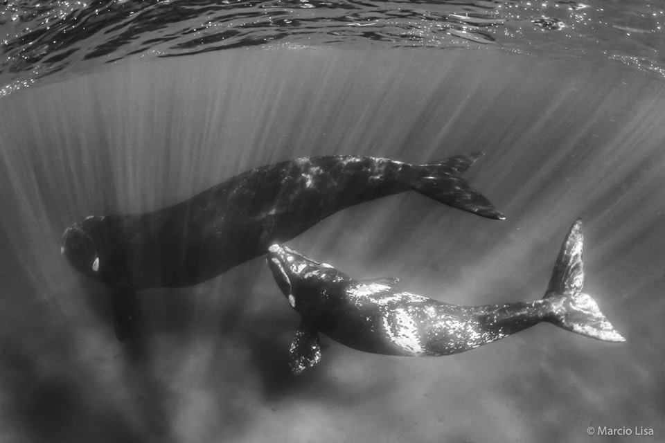 Baleia Franca / Right whale / <i>Eubalaena australis</i>