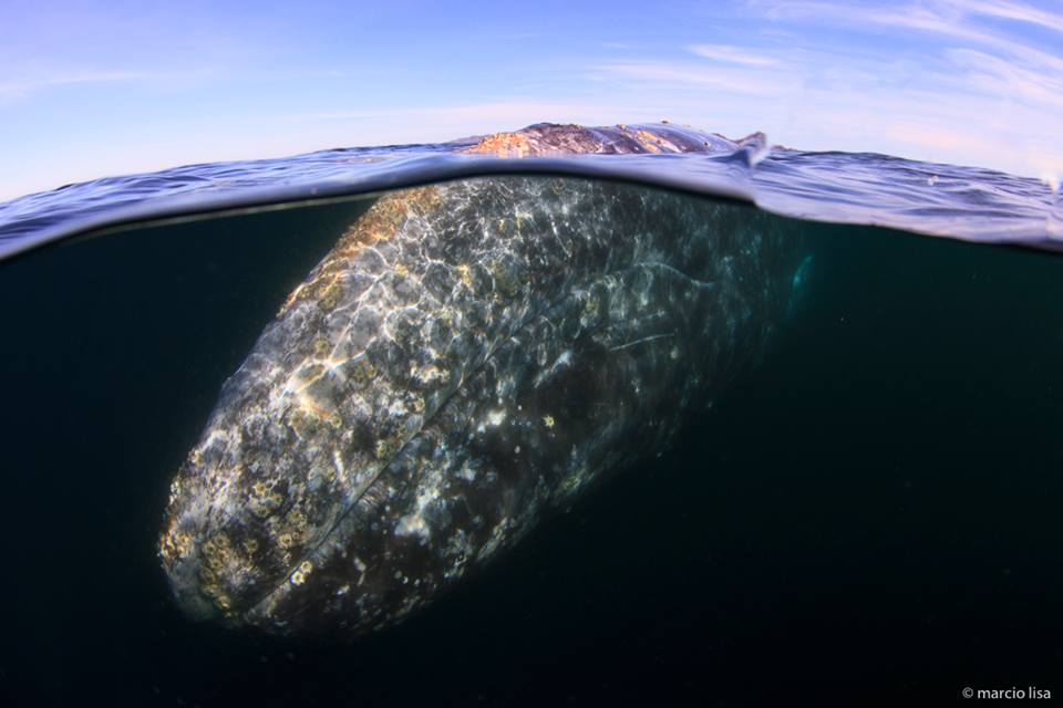 Baleia cinzenta / Gray whale / <i>Eschrichtius robustus</i>