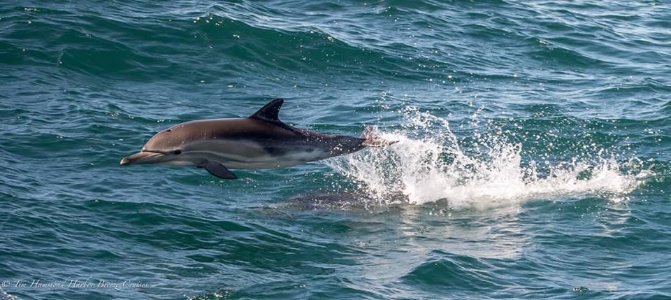 Golfinho comum / Common Dolphin / <i> Delphinus delphis / <i>