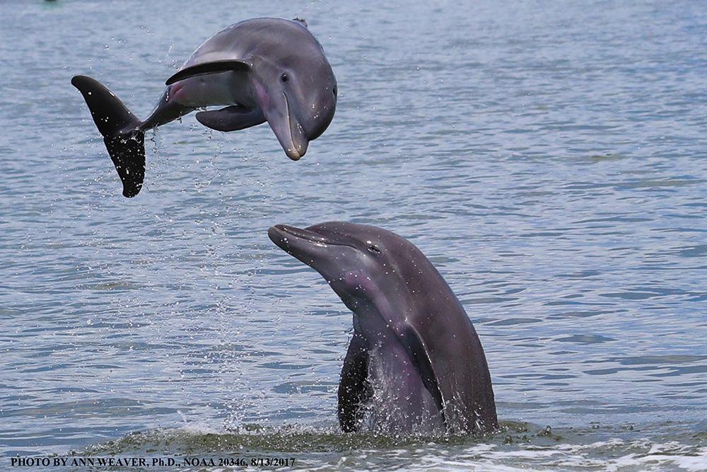 Golfinho-Nariz-de-Garrafa / Bottlenose Dolphin / <i>Tursiops truncatus</i>