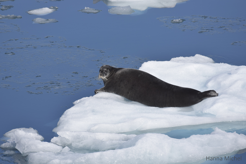 Bearded seal / <i>Erignathus barbatus</i>