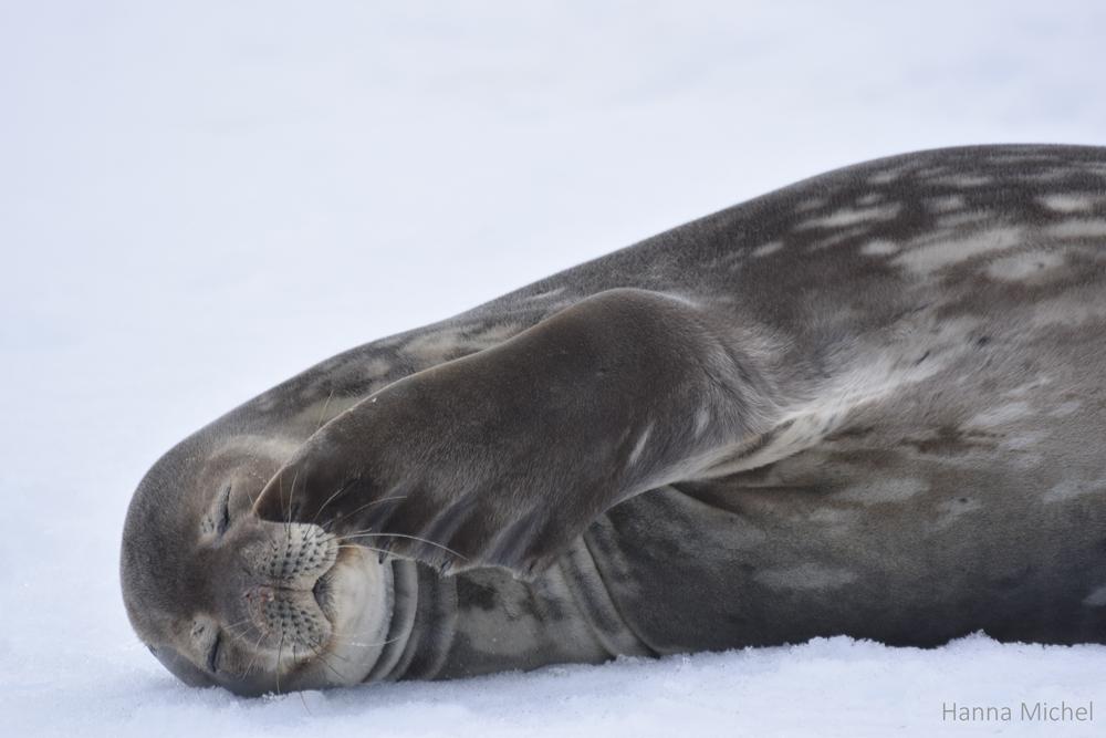 Foca-de-Weddel / Weddel Seal / <i>Leptonychotes weddellii</i>