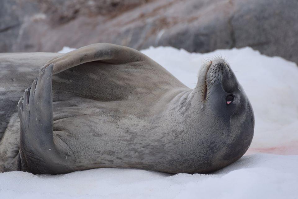 Foca de Weddell / Weddell Seal / <i>Leptonychotes weddellii</i>