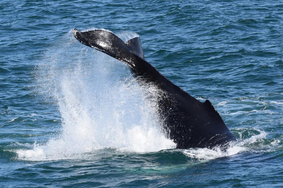 Baleia-jubarte / Humpback whale / <i>Megaptera novaeangliae</i>