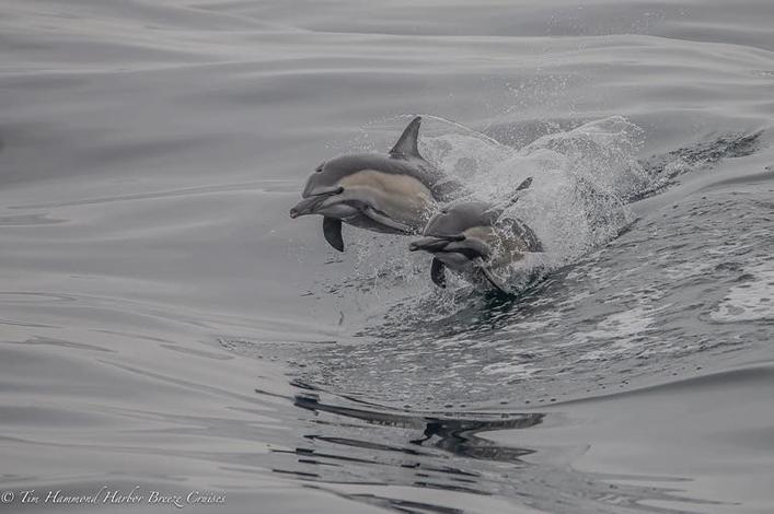 Golfinho comum / Common Dolphin / <i>Delphinus delphis</i>