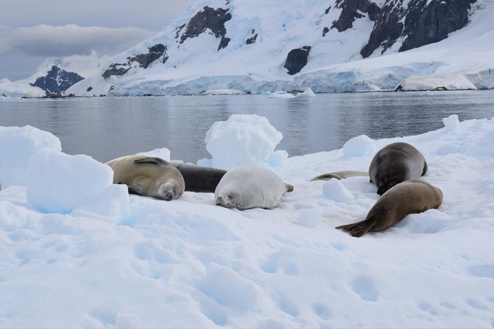 Foca caranguejeira / crabeater seal / <i>Lobodon carcinophagus</i>
