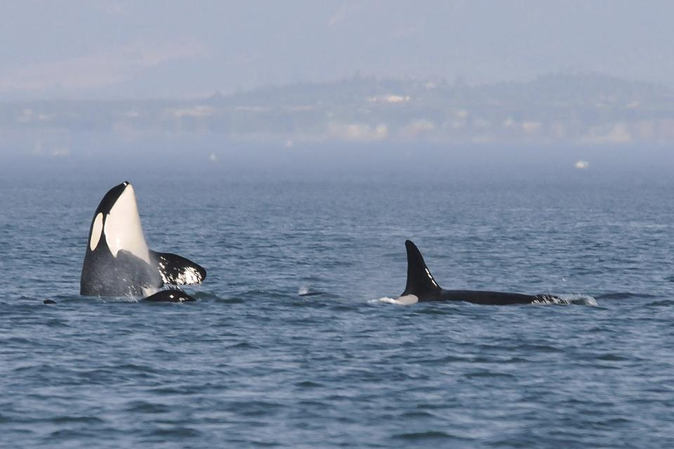Orca / Killer whale / <i>Orcinus orca</i>