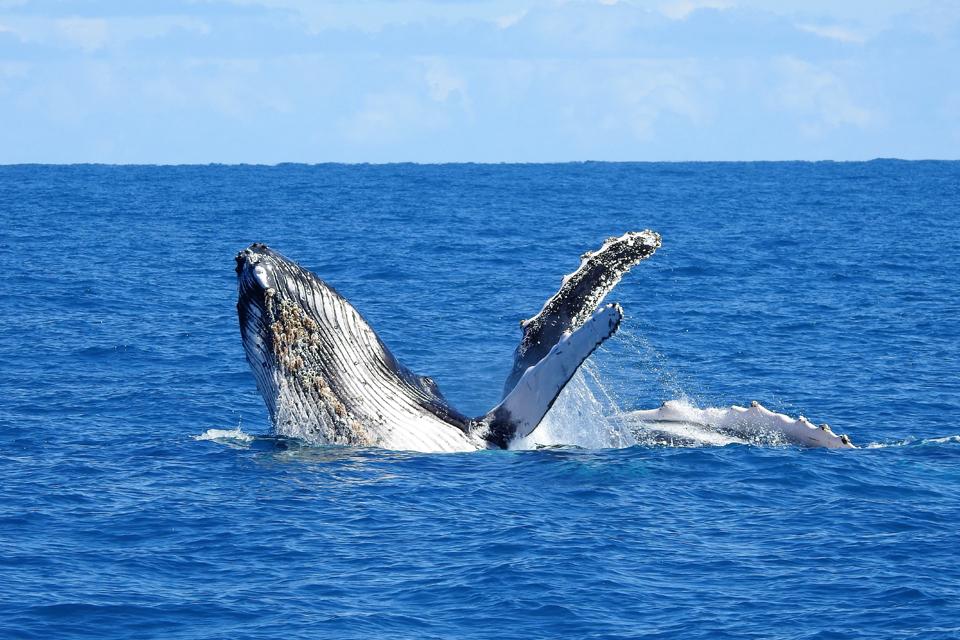Baleia Jubarte / Humpback whale / <i>Megaptera novaeangliae</i>