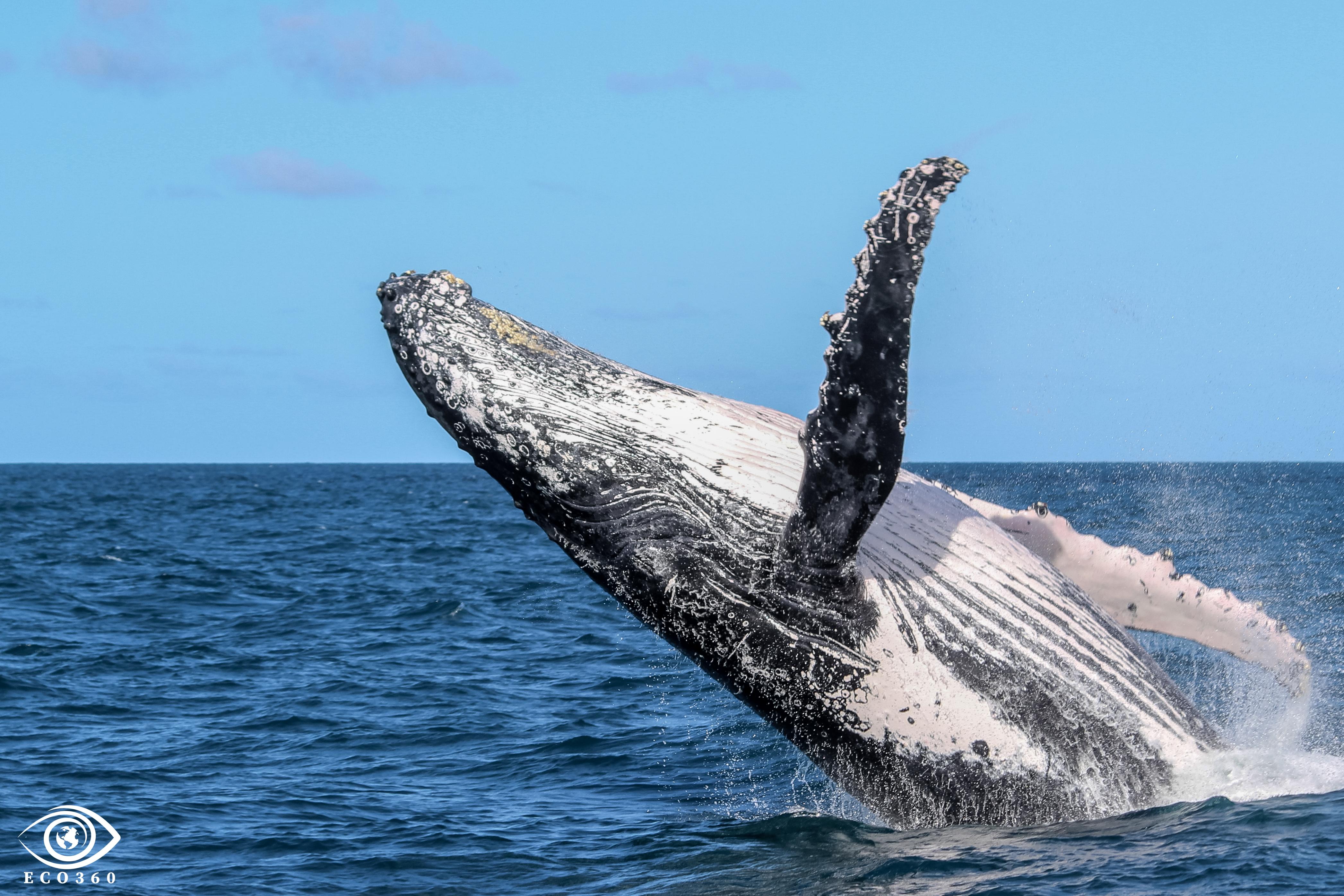 Baleia Jubarte / Humpback Whale / <i>Megaptera novaeangliae<i>